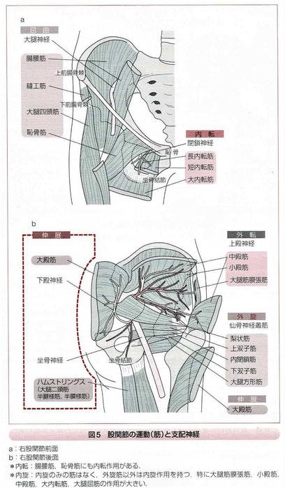 股関節の運動(筋)と支配神経