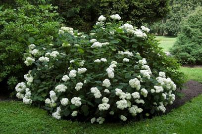 Hydrangea arborescens Grandiflora