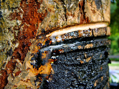 """the sap of """"Urushi"""" lacquer tree"""
