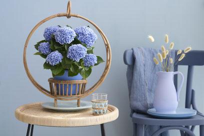 ©Magical Hydrangea - Hortensia d'intérieur Revolution® bleu (12 cm)