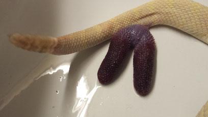 Hemipenis einer Östl. Diamantklapperschlange