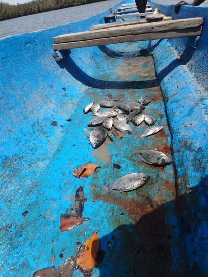fish caught by dug-out canoe, Tumani Tenda, Gambia