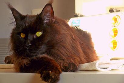 entspannte Katze bei der Bioresonanztherapie
