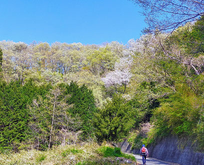 高川山へ続く新緑や山桜の道