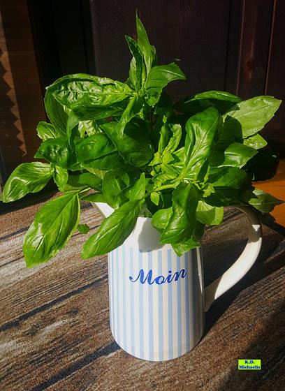 """1 Bund frisches Basilikum in einer hellblau-weiß gestreiften """"Moin""""-Kanne, dessen frisches Grün in der Sonne strahlt. Von K.D. Michaelis"""