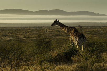 Girasffe in early morning light in the landscape