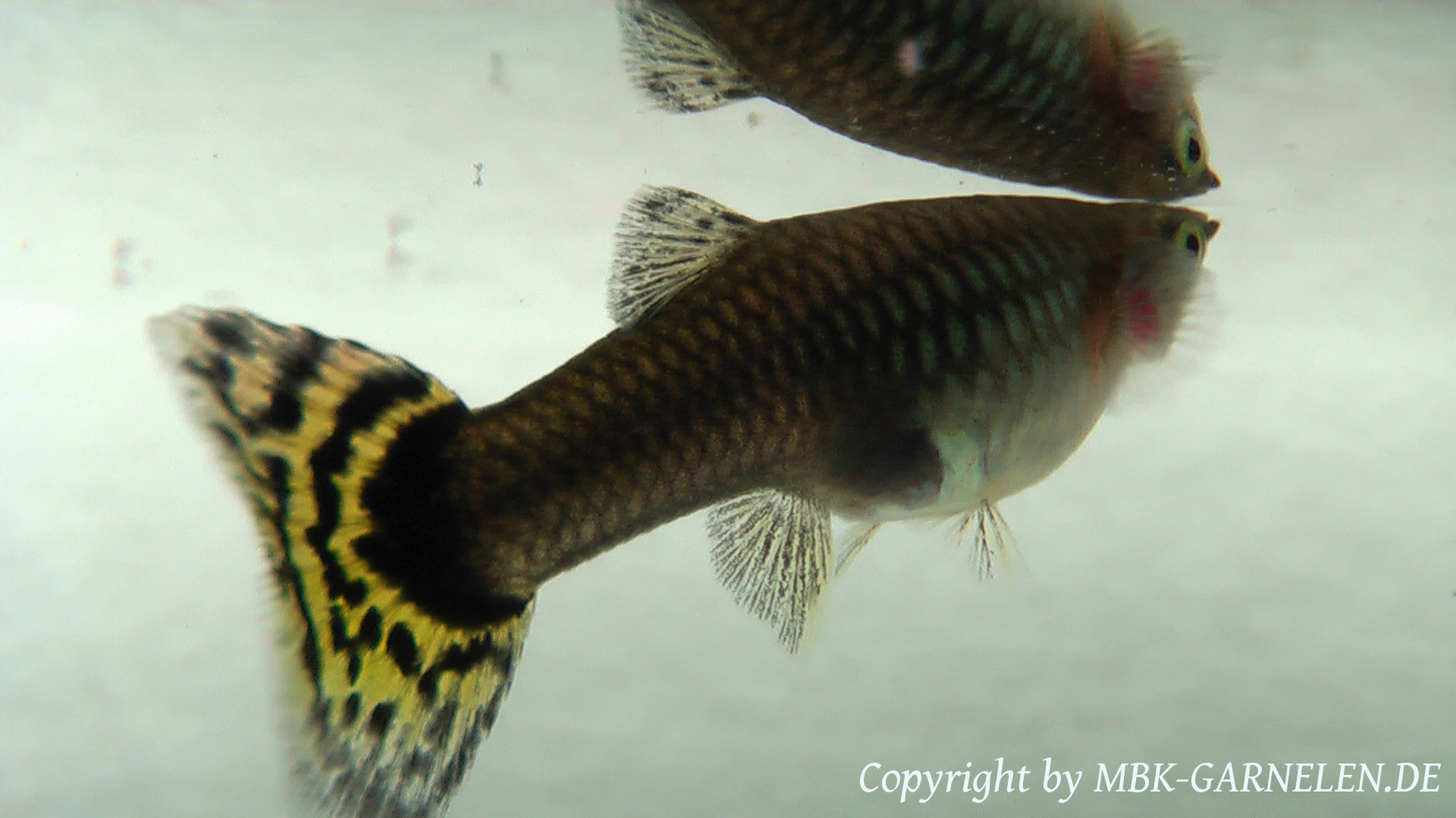 Haltung / Heimtierhaltung - MBK - Aquaristik Garnelen & Axolotl