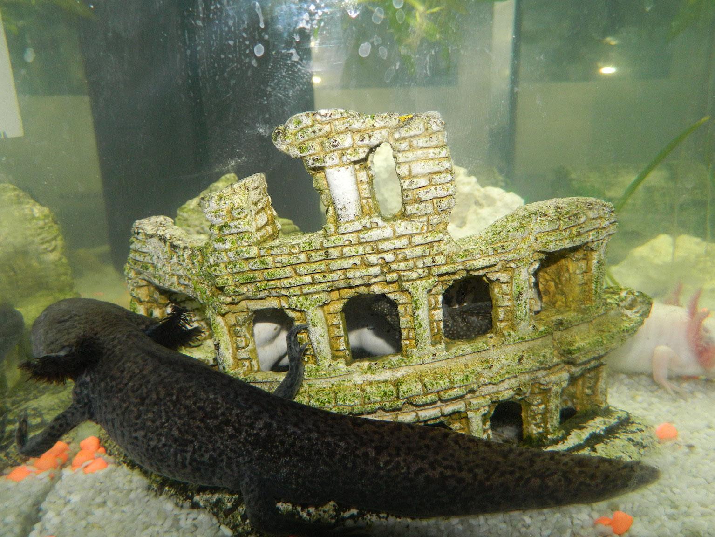 Unsere Axolotl Danys Tierwelts Webseite