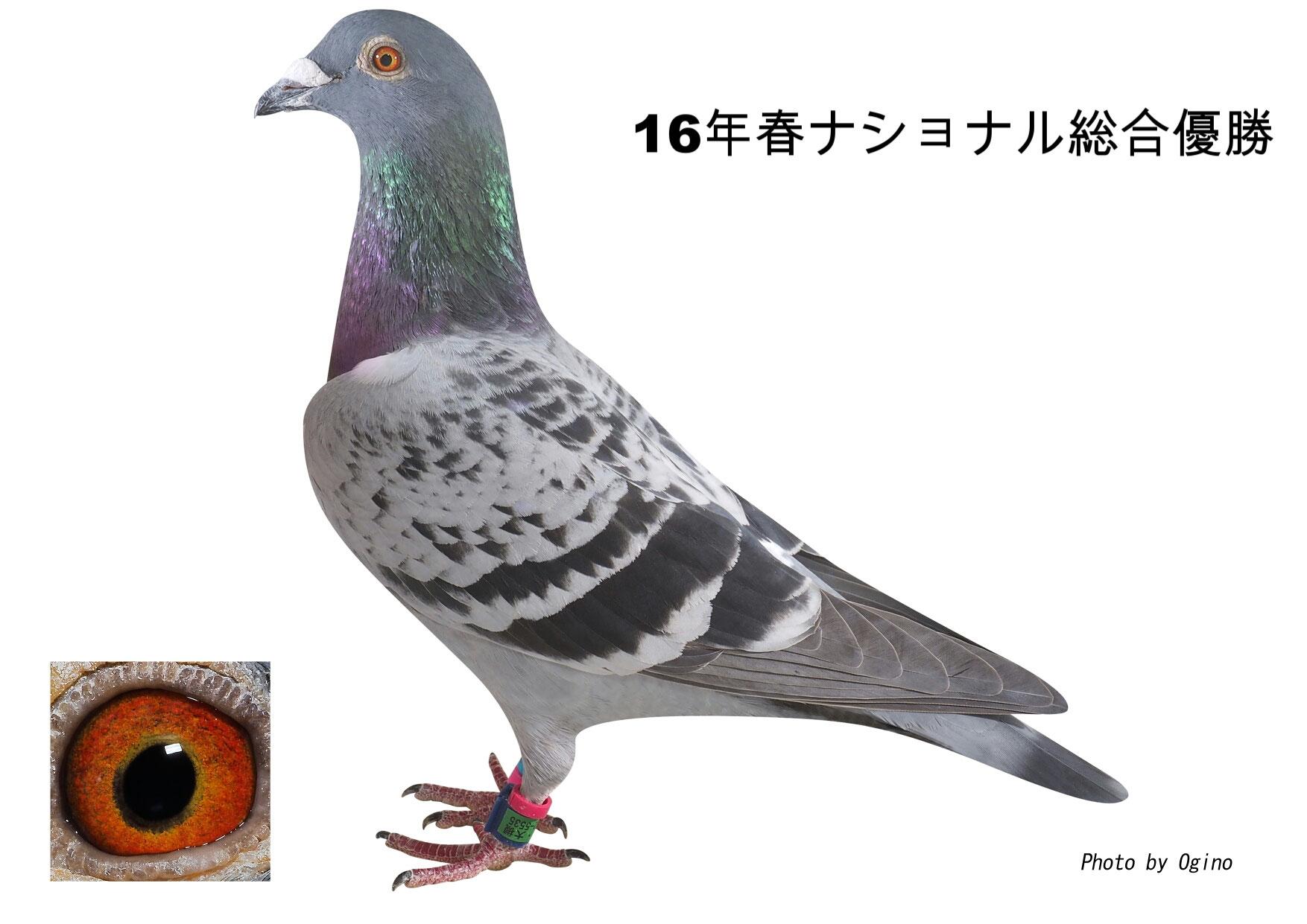 鳩 ブログ レース ヤマネットインターナショナル・ブログ