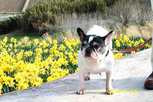 フレンチ ブルドッグ 犬 保護