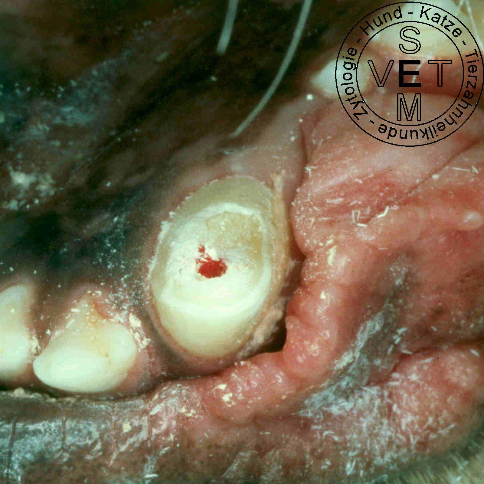 Zahn-Restauration beim Hund - Seminare für Tierärzte