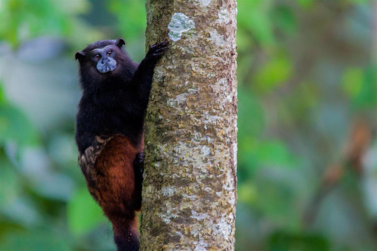 Brown-mantled tamarin