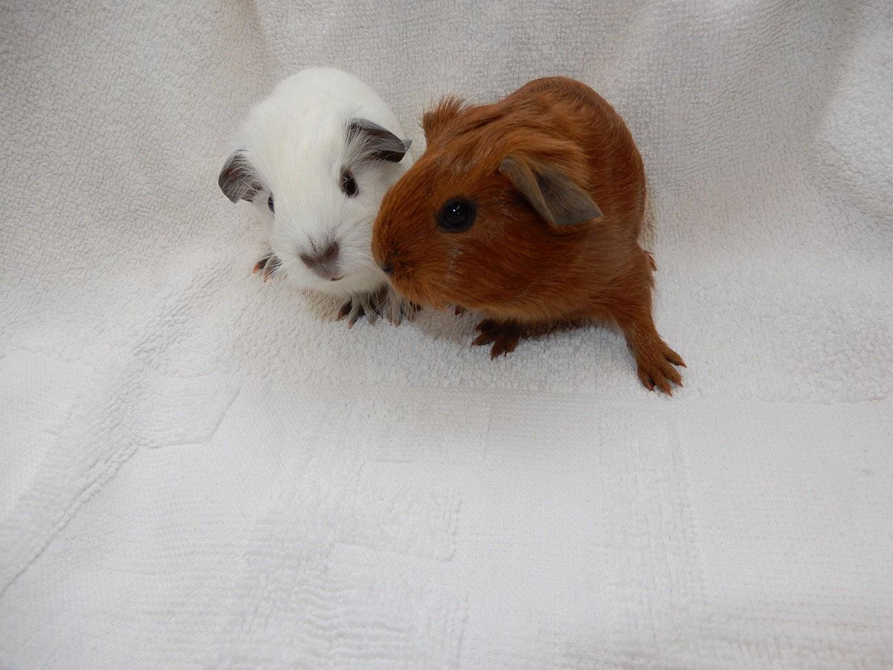Schweinchenbabys :-) - www.meerschweinchen-vom-glantal