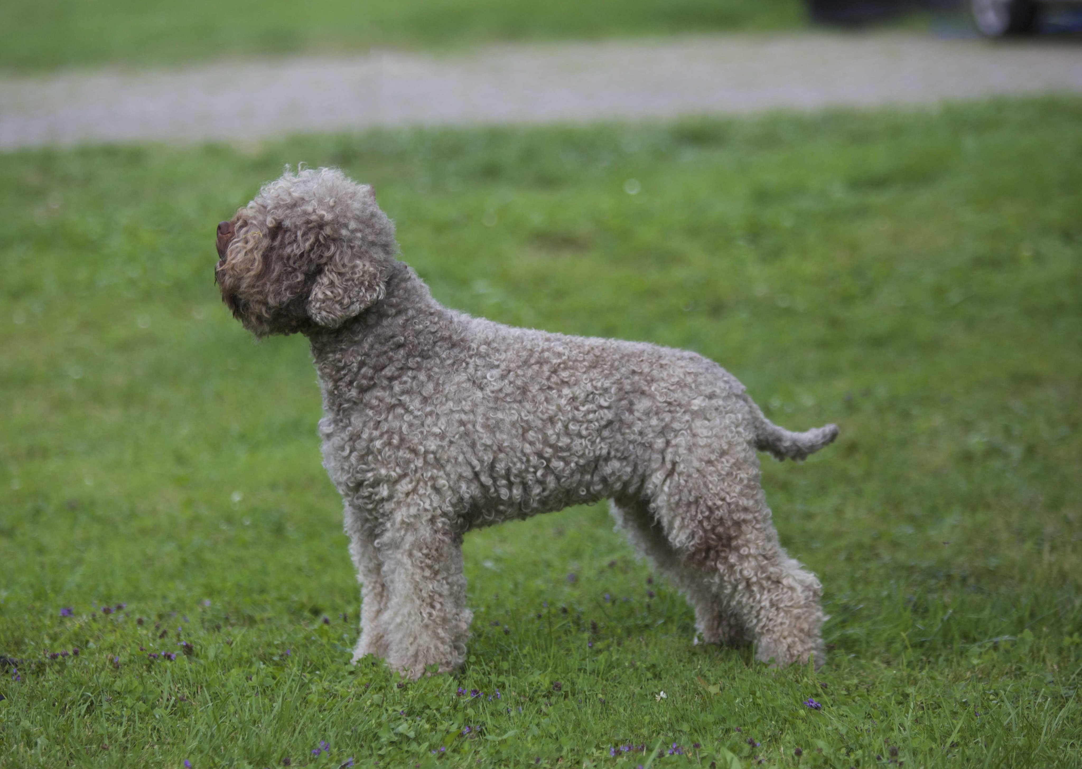 Curly Coats Lagotto Our Males Curly Coats Lagotto Romagnolo