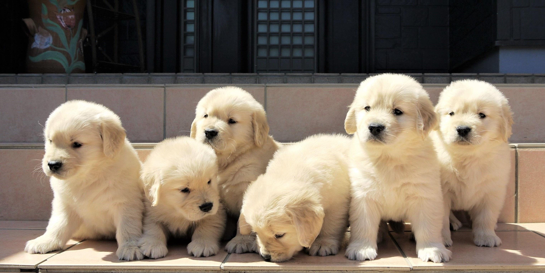 子犬 バーニーズ マウンテン ドッグ