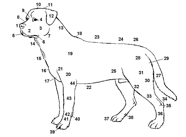 Die Anatomie des Rottweilers - ROTTWEILER VON ST. JAKOB AN DER BIRS