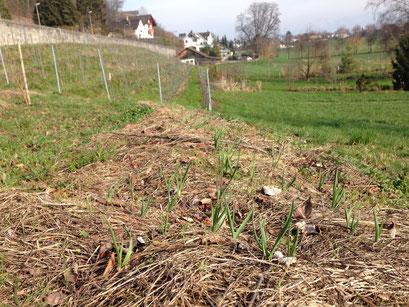 Frühjahr 2016. Knoblauch drückt durch die im Herbst gelegte Mulchschicht.
