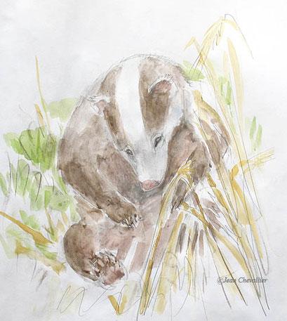 Blaireau leucique, aquarelle Jean Chevallier