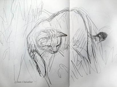 Chat forestier Felis sylvestris dessin Jean Chevallier