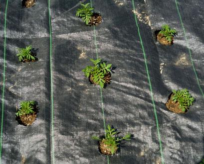 防草シートで覆って苗を植える。花株が茂ると、シートは見えなくなる