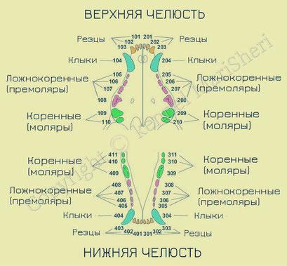 Рис. 2. Схема расположения зубов в верхней и нижней челюстях.