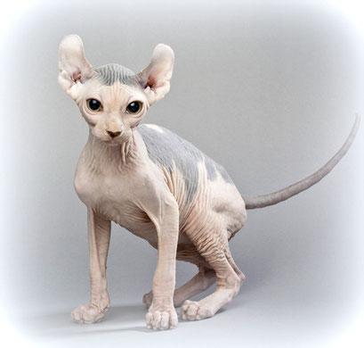Elfen-Katze, Bildquelle: canstockphoto.de, csp12709017 (c) kozzi, Elfen-Katze, Nacktkatze mit nach hinten gebogenen Ohren, Kreuzung: Sphynx/American Curl