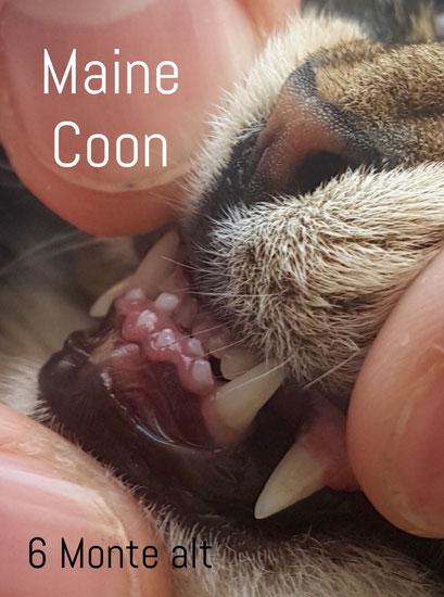MaineCoon Katze, 6 Monate alt, zu  reiter Abstand der Eckzähne bei geschlossenem Maul, zu langer Unterkiefer im Verhältnis zum Oberkiefer, Foto: Tuschhoff