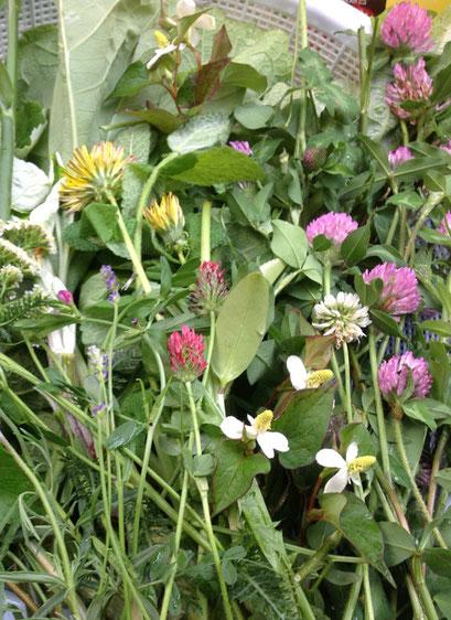 春夏の野草酵素材料