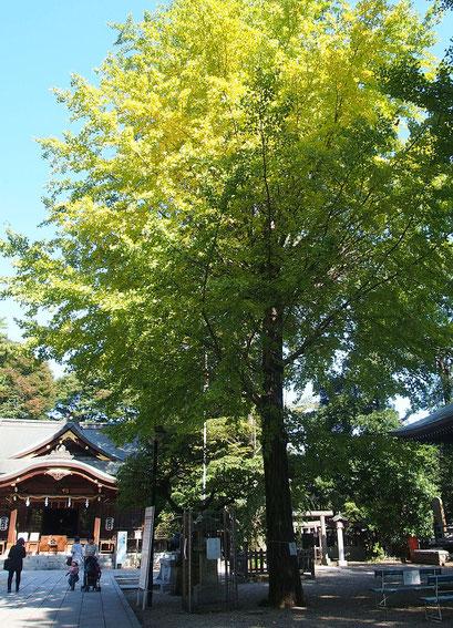 境内には巨木が多く、イチョウは、きれいに黄葉していました