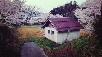 東郷公園 桜
