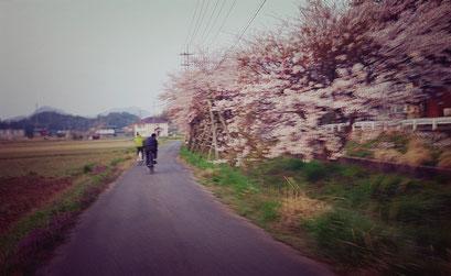朝チャリ 桜 東郷