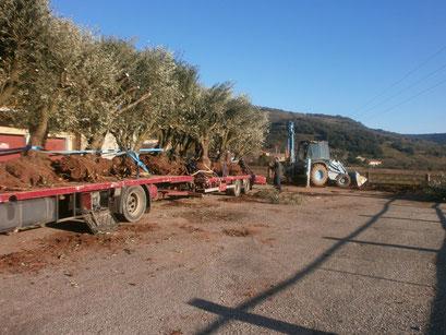 arrachage et transport oliviers