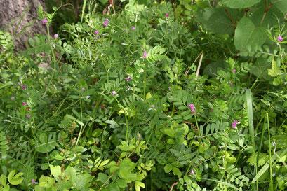 カラスノエンドウ 小葉は12〜16個。 どっさりはびこっていた