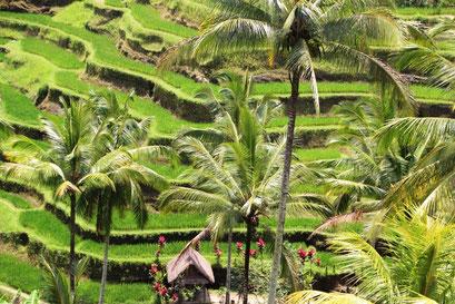 la beauté des rizières balinaises