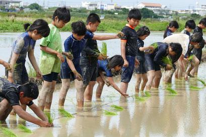 石垣小学校の5年生が田植え体験を行った=20日午前、新川平田原