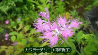カワラナデシコ(河原撫子)