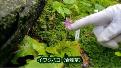 イワタバコ(岩煙草)