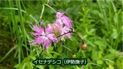 イセナデシコ(伊勢撫子)