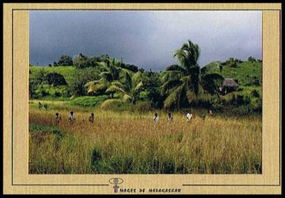 Carte postale ancienne de Sainte-Marie de Madagascar, la récolte du riz