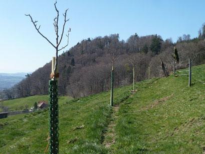 Die Baumreihe besteht aus 14 Hochstamm-Obstbäumen von ProSpecieRara-Sorten (Zwetschge, Pflaume, Apfel, Birne) und Speierlingen. Foto Georg Ledergerber