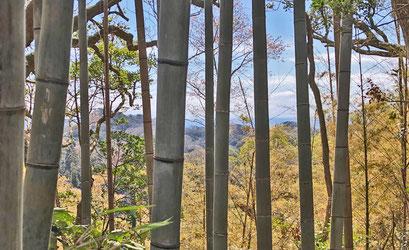 作業した竹林からは相模湾を見渡せます。山桜の開花も確認できました!