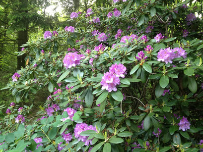 flores do jardim do Osho Mani