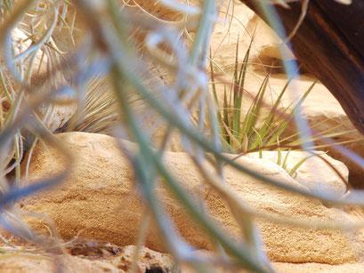 Trockentillandsien im Terrarium (aus der Sicht des Tieres)
