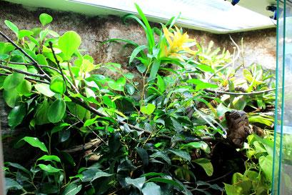 Bepflanzung im Chamäleon- Terrarium