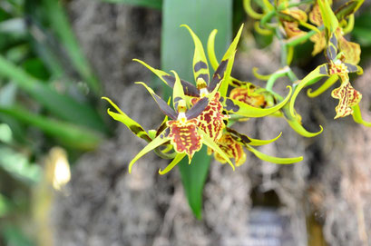 These are my favourite orchids with wonderful colours looking like a spider. photo: Reinhold Ponesch ©