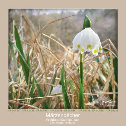 Märzenbecher©Eschenblatt-Verlag