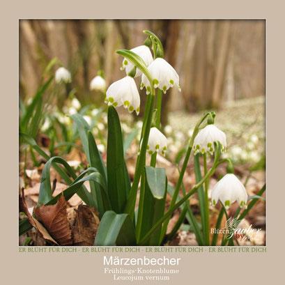 Märzenbecherpflanze©Eschenblatt-Verlag