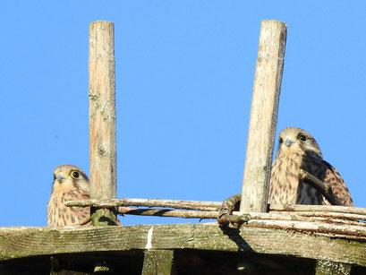 Junge Turmfalken, Foto C. Zimmermann