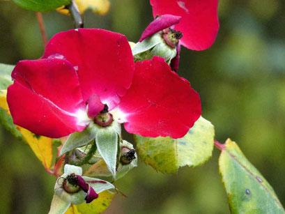 Trauer - Rotes Rosenblatt