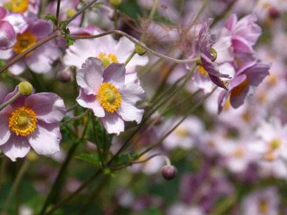 Anemone (Blume)